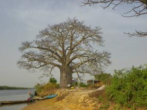 Baobab v Casamance